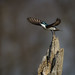 Tree Swallow Take Off