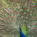 Peacock by Cem Bayir photography