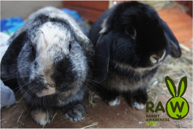 rabbit awareness week sawyer and squidge