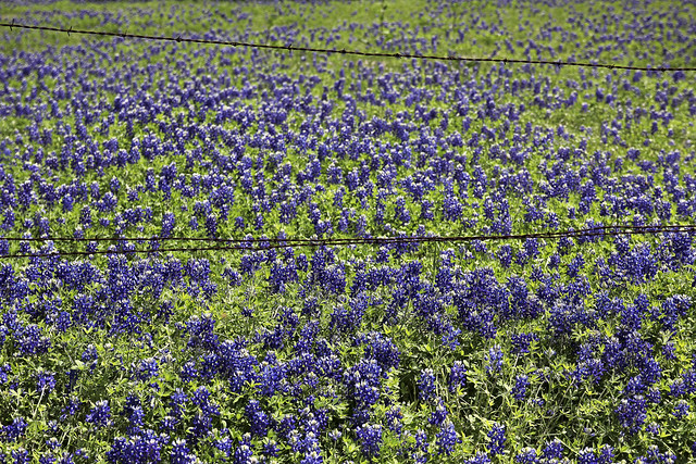 bluebonnets for ever