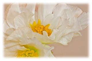 White Begonia Flowers Macro