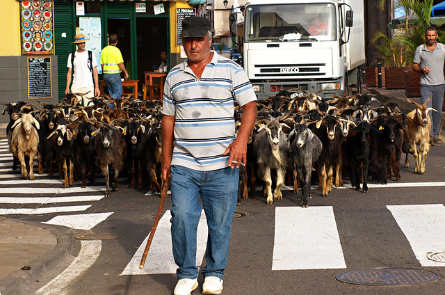 Goats, San Juan, Puerto de la Cruz, Tenerife