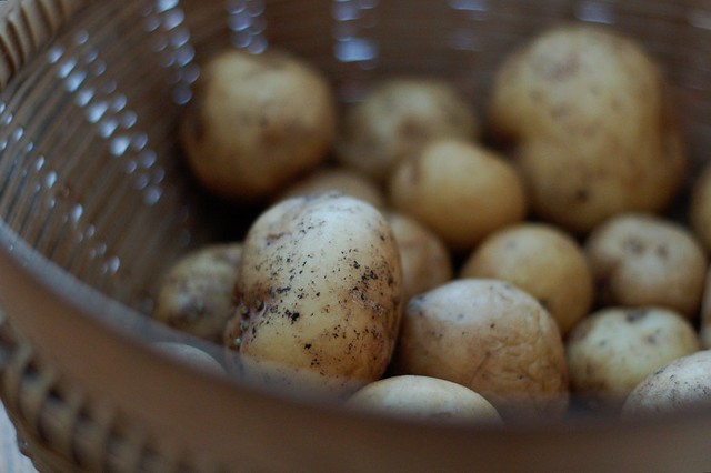 Homegrown Yukon Gold potatoes by Eve Fox, the Garden of Eating, copyright 2015