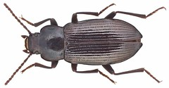 Cylindronotus (Odocnemis) congener Reiche, 1861 Sy.: Odocnemis congener (Reiche, 1861)