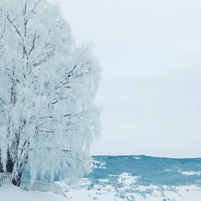 ei enorm bjørk i kvit kjole på vegen heim igår. ❄️🌳❄️ alt vert så vakkert med eit lag snø!