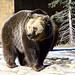 Maggi the bear by V. C. Wald