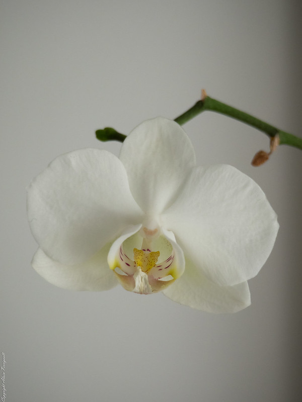 Orchidée 16415651960_52e4cc81d2_c
