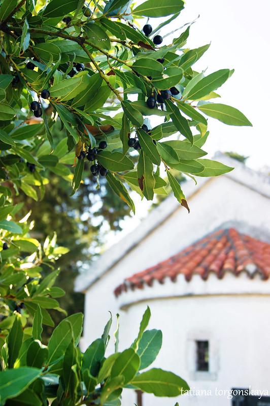 Лавровое дерево за храмом