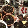 #tomatoseedlings ,#tomatoplants ,#seedlings ,#gardening ,#garden ,#veggies ,#growing #food