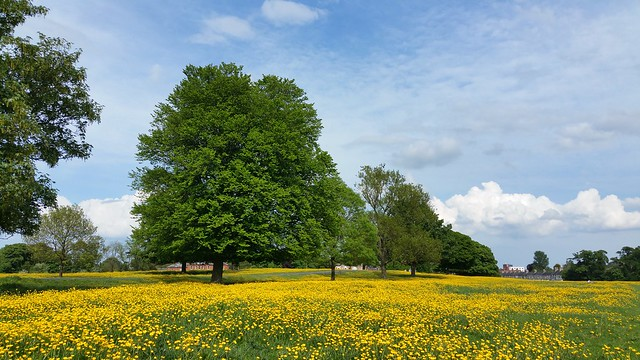 A sea of Buttercups at Beverley Westwood,East Yorkshire.