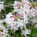 Small photo of Rhododendron alabamense (Alabama Azalea)