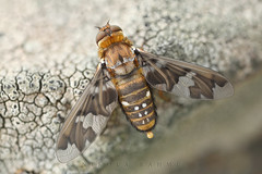 Stained beefly