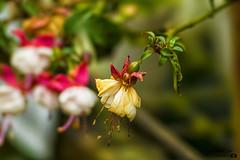 Flor en decadencia