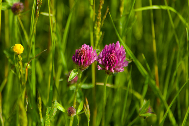 Red clover, flowering in long grass