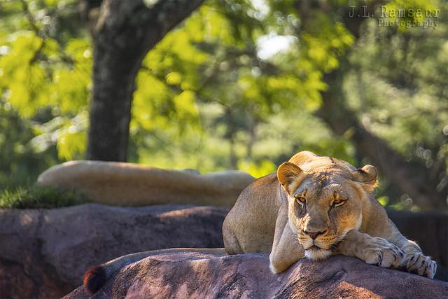 Queen of the Kilimanjaro Safari - Disney's Animal Kingdom