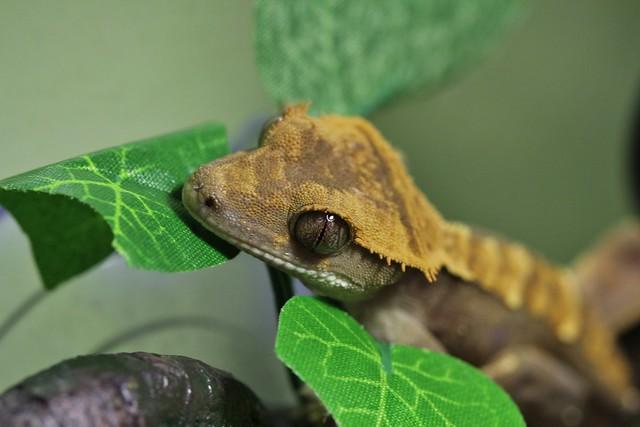 photoEyelash Crested Gecko