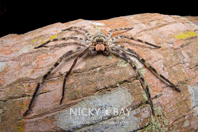 Lunula Huntsman Spider (Heteropoda lunula) - DSC_2063