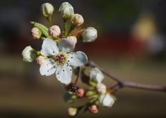 Pear Blossom, Head-on III
