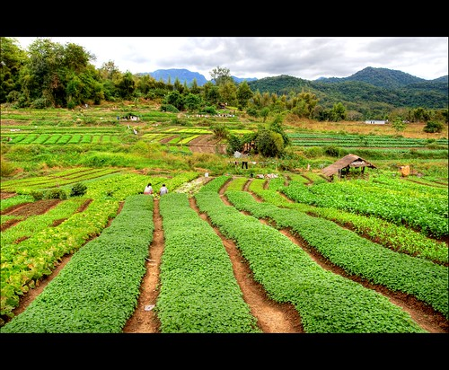 laos sowingseeds green luangphrabang agriculture landscape lao asian asia field crop farm plant row harvest farming growth grow farmland growing countryside vegetable agricultural