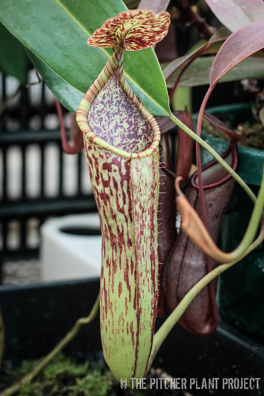 Nepenthes Poi Dog - maxima hybrid