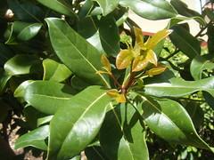 shrub(0.0), calamondin(0.0), flower(0.0), produce(0.0), fruit(0.0), food(0.0), bitter orange(0.0), evergreen(1.0), leaf(1.0), tree(1.0), plant(1.0), bay laurel(1.0),
