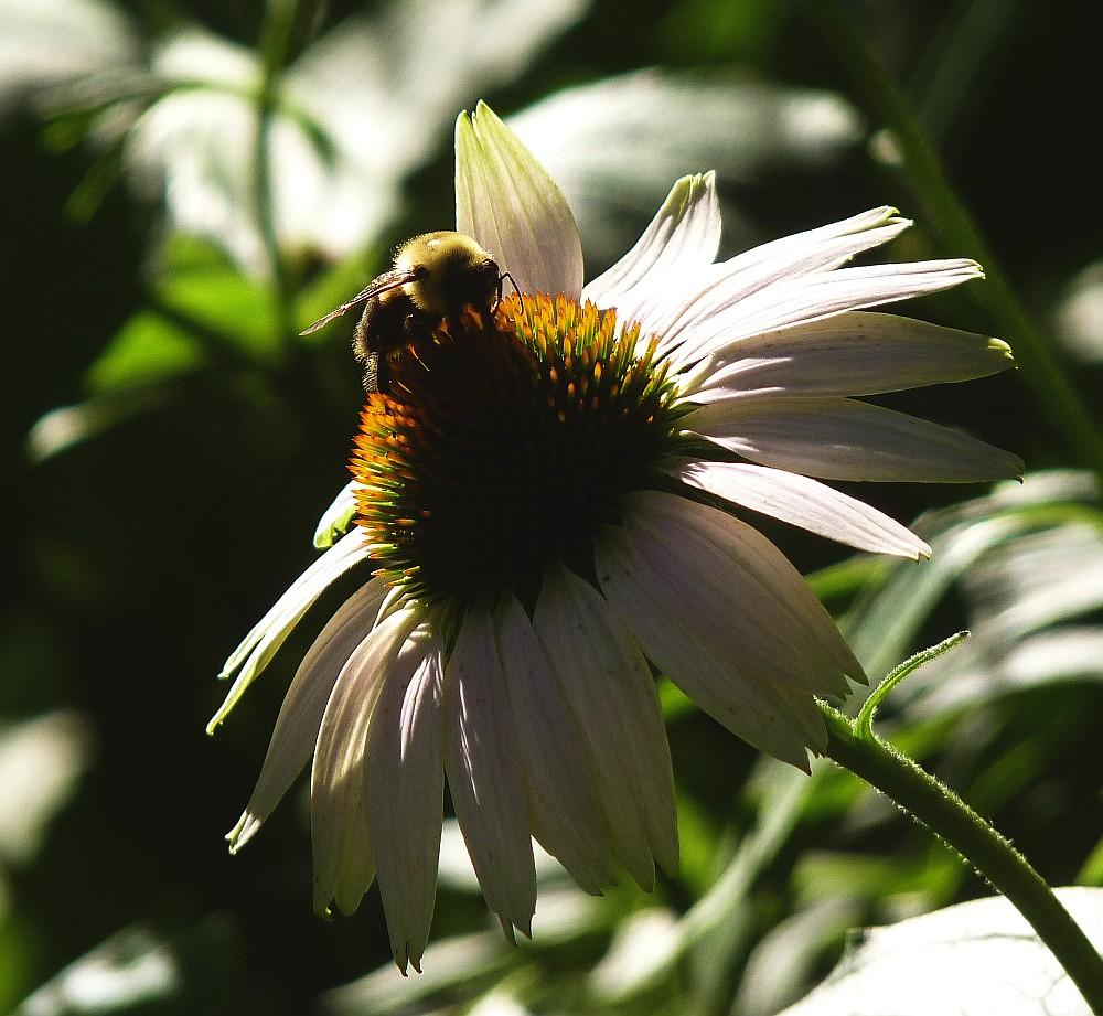 Bumble Bee Echinacea
