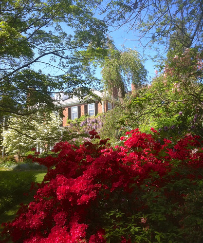Red Azaleas at Long Hill by randubnick