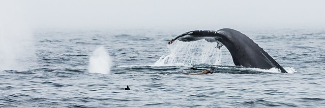 Tail Fluke on dive.  Humpback Whales, Megaptera novaeangliae, lunge feeding, diving, feeding, off our boat