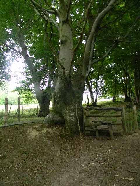 Old stile, gnarled tree