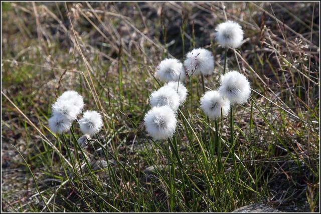 Arctic Cotton Grass (E...