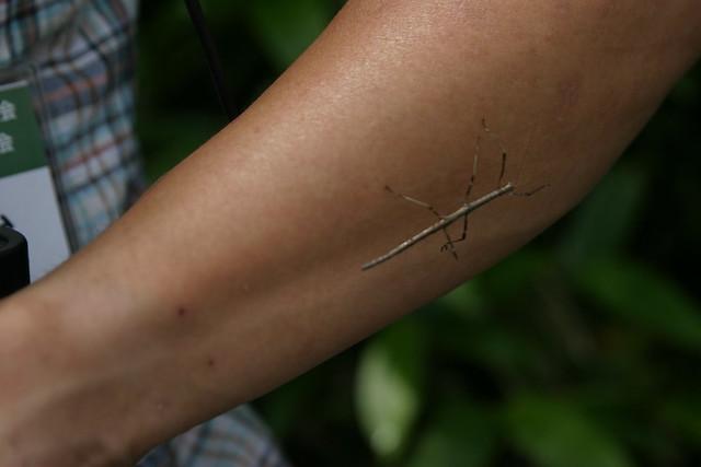 擬態昆虫として有名なナナフシ.小枝のよう.
