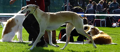 dog sports, animal sports, dog breed, animal, magyar agã¡r, dog, polish greyhound, whippet, galgo espaã±ol, sloughi, sports, pet, mammal, greyhound, conformation show,