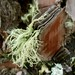Small photo of Usnea wasmuthii