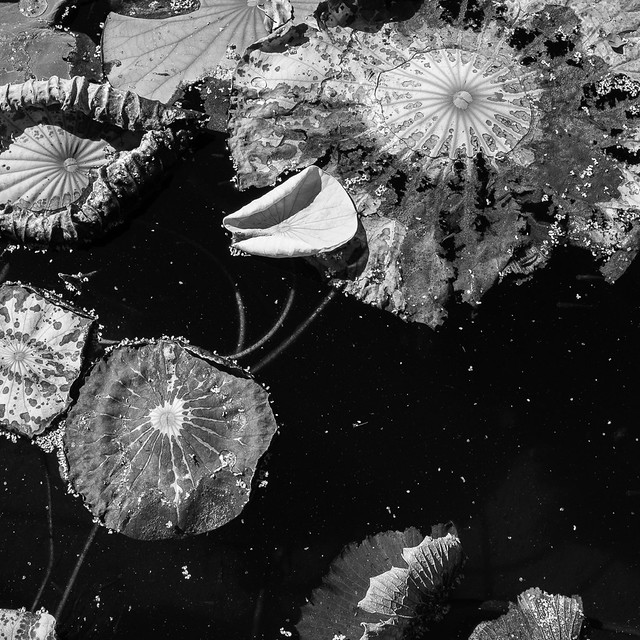 Decaying lotus leaves