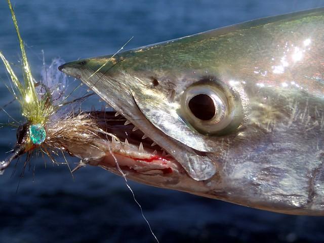 Mackerel Mouth