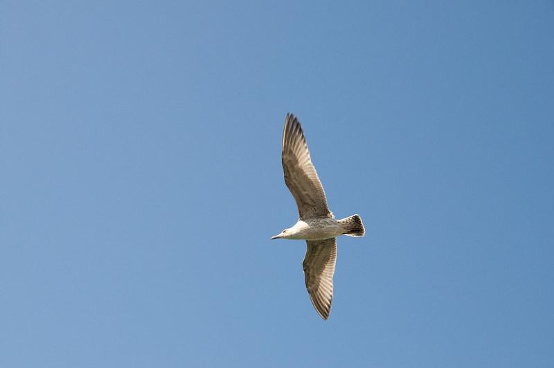 Seagulls at Brighton UK