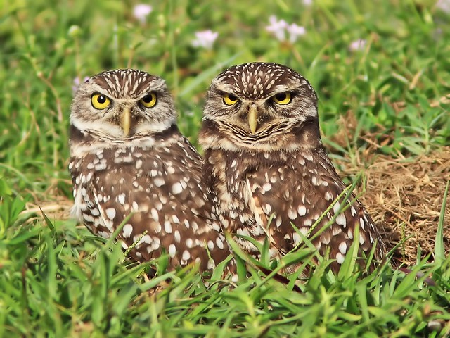 Burrowing Owls 04-20131114