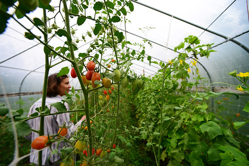 Taylor Dale picks fresh cherry tomatoes grown in a hoop house to sell in the local farmer's market in Santa Fe, N.M. USDA photo.