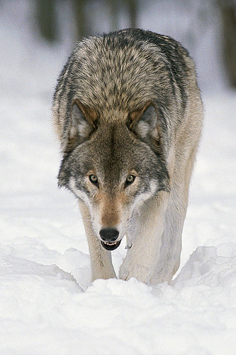 Wildlife in British Columbia, Canada: Gray Wolf (Timber Wolf)