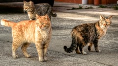 animal, tabby cat, small to medium-sized cats, pet, mammal, pixie-bob, fauna, cat, rusty-spotted cat, wild cat, whiskers, bobcat, domestic short-haired cat,