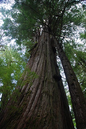 Giant Cedar Tree on the Pacific Rim Highway 4, Vancouver Island, British Columbia, Canada