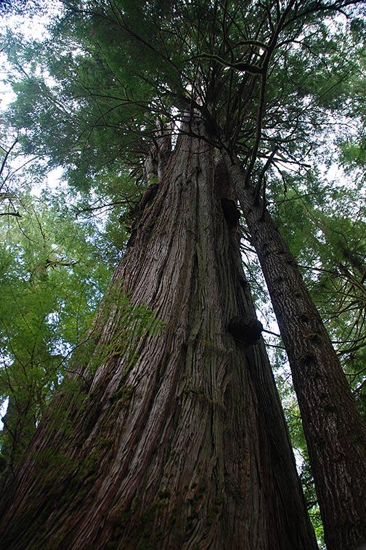 Giant Cedar Tree on the Pacific Rim Highway 4, Vancouver Island, British Columbia, Canada
