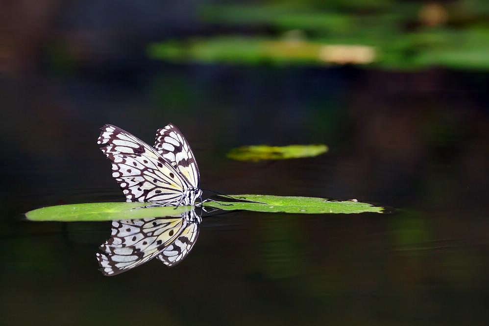白斑蝶屬大白斑蝶02