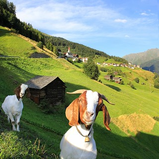 Curious mountain goats in Tyrol