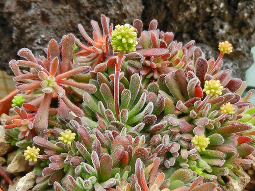 Crassula pubescens by Succulents Love by Pasquale Ruocco