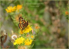 Theona Checkerspot Texas butterfly photography by Ron Birrell, DSC_5031