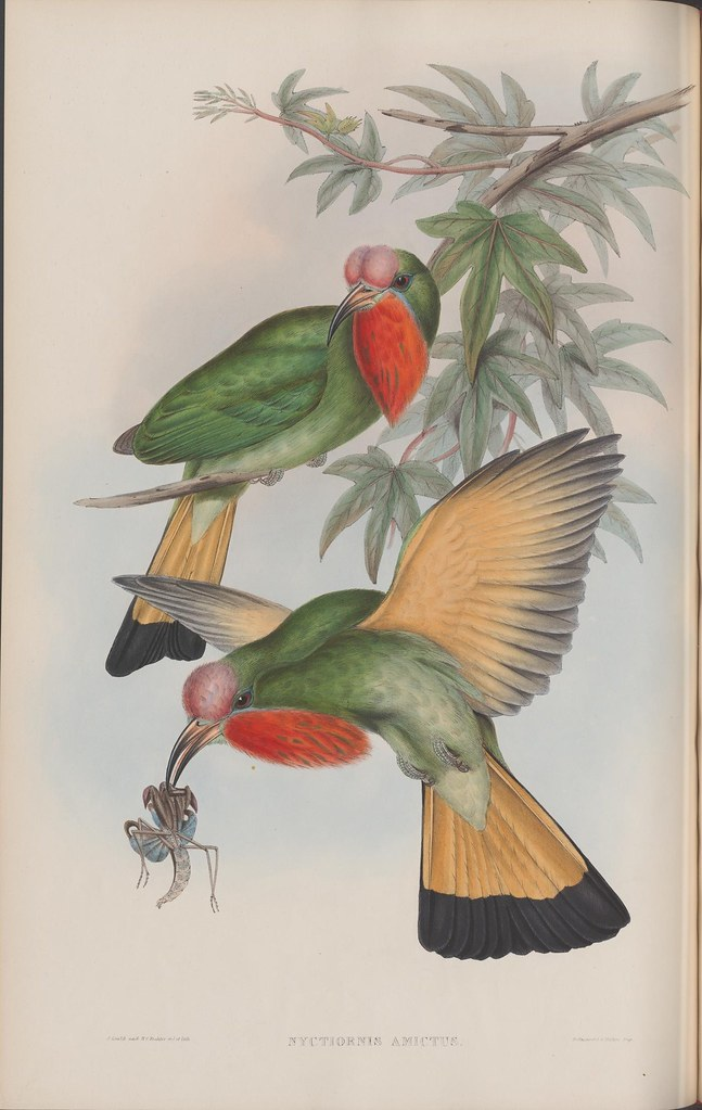 lithographic sketch of two colourful birds of same species; one perched in tree, the other, hovering nearby, with an insect in its beak