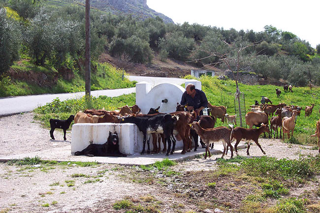 Cabras en la fuente. © Paco Bellido, 2006