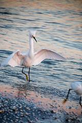 swan(0.0), great egret(0.0), animal(1.0), water bird(1.0), wing(1.0), water(1.0), sea(1.0), nature(1.0), fauna(1.0), reflection(1.0), heron(1.0), beak(1.0), bird(1.0), wildlife(1.0), egret(1.0),