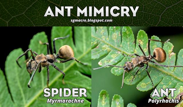 Ant Mimicry - DSC_2401_mimicry